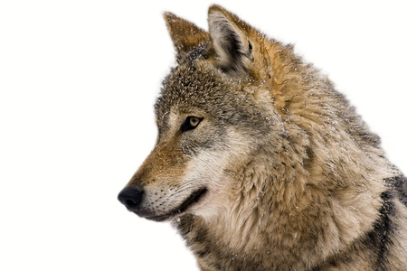 European gray wolf  Canis lupus lupus  isolated Reklamní fotografie