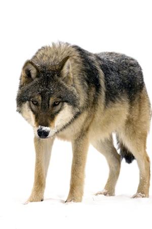lobo feroz: Europeo gris lobo Canis lupus lupus aislado