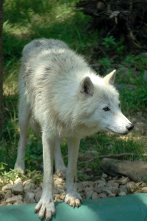 arctos: Arctic wolf  Canis lupus arctos