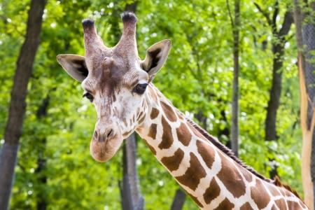 reticulated: Reticulated giraffe  Giraffa camelopardalis reticulata