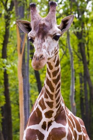 Reticulated giraffe  Giraffa camelopardalis reticulata  Stock Photo - 18078969