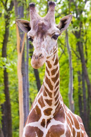 reticulated giraffe: Reticulated giraffe  Giraffa camelopardalis reticulata