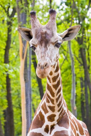 Reticulated giraffe  Giraffa camelopardalis reticulata  Stock Photo - 18078965