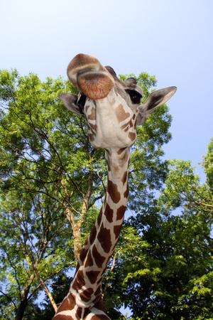 Reticulated giraffe  Giraffa camelopardalis reticulata Stock Photo - 18079002