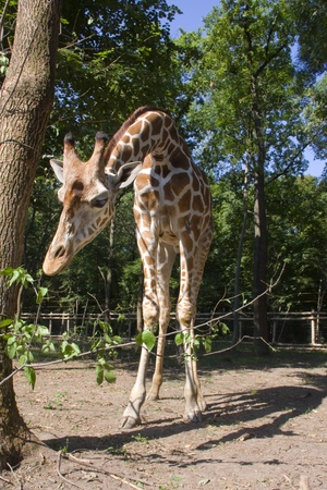 Reticulated giraffe  Giraffa camelopardalis reticulata  Stock Photo - 18079019