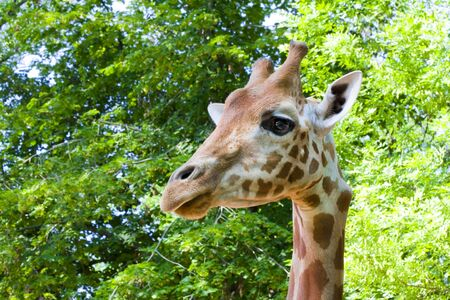 Kordofan giraffe  Giraffa camelopardalis antiquorum Stock Photo - 18079015