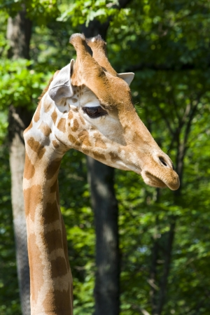 Kordofan giraffe  Giraffa camelopardalis antiquorum  Stock Photo - 18078972