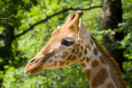 Kordofan giraffe  Giraffa camelopardalis antiquorum Stock Photo - 18078971
