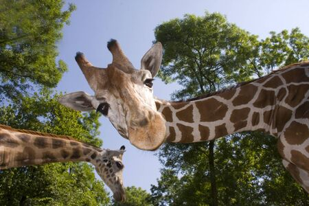 Reticulated giraffe  Giraffa camelopardalis reticulata  photo
