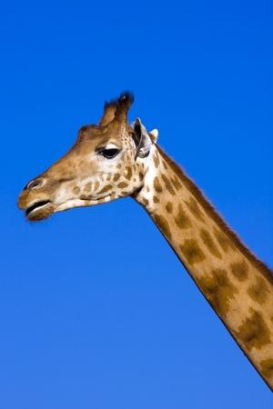 Giraffe  Giraffa camelopardalis  Stock Photo - 18078964