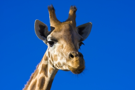 ungulates: Giraffe  Giraffa camelopardalis  Stock Photo