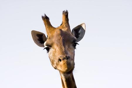 Giraffe  Giraffa camelopardalis  Stock Photo - 18078962