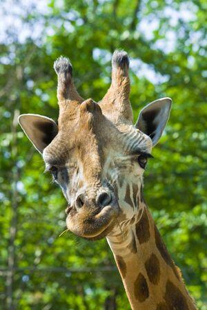 Giraffe  Giraffa camelopardalis rotschildi Stock Photo - 18078970