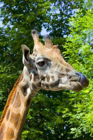 Giraffe  Giraffa camelopardalis rotschildi  Stock Photo - 18078975