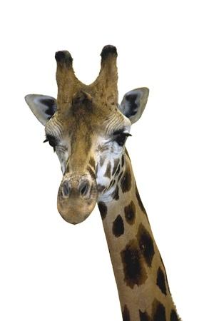 Head of a Rotschild giraffe  Giraffa camelopardalis rotschildi  isolated Stock Photo - 18078977