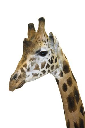 Head of a Rotschild giraffe  Giraffa camelopardalis rotschildi  isolated Stock Photo - 18078960