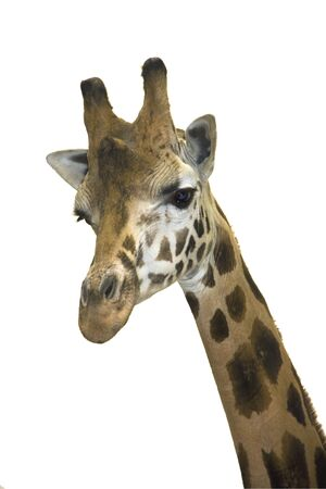 Head of a Rotschild giraffe  Giraffa camelopardalis rotschildi  isolated Stock Photo - 18078959