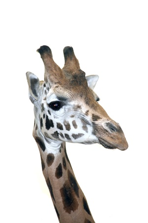 Head of a Rotschild giraffe  Giraffa camelopardalis rotschildi  isolated Stock Photo - 18078973