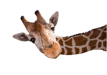ungulates: Reticulated giraffe  Giraffa camelopardalis reticulata  isolated