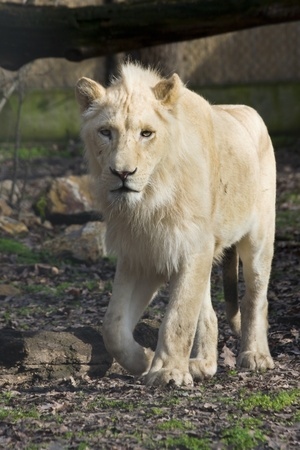 felid: Male white lion  Panthera leo krugeri
