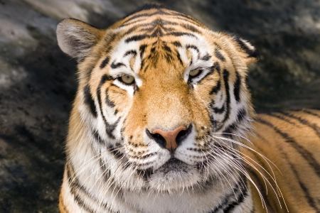 felid: Amur tiger  Panthera tigris altaica  Stock Photo