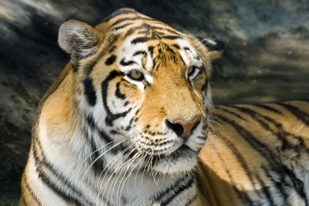 the amur: Amur tiger  Panthera tigris altaica  Stock Photo