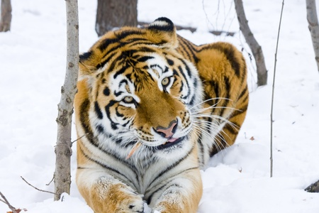 Siberian tiger  Panthera tigris altaica  eats a chicken photo