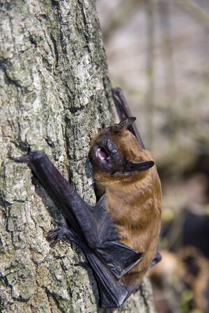 Common noctule  Nyctalus noctula  on a tree Stock Photo