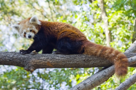 Red panda o panda menor Ailurus fulgens photo