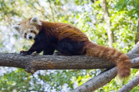 Red panda or Lesser panda  Ailurus fulgens