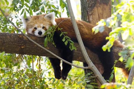 Red panda or Lesser panda  Ailurus fulgens  is resting on a tree photo