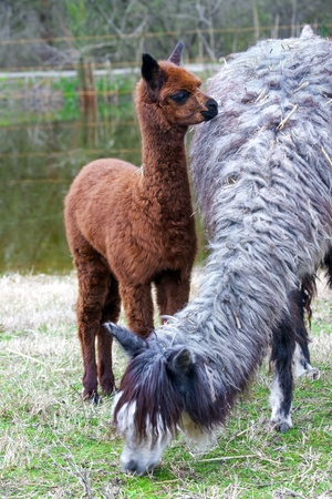 Alpaca  Vicugna pacos or Lama pacos  baby photo
