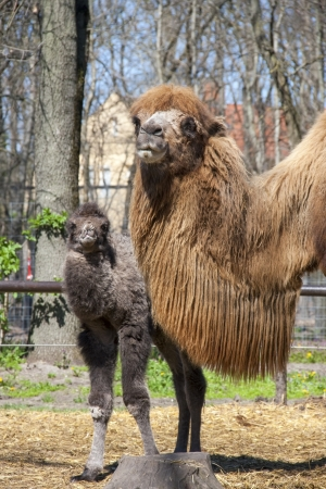 Two-humped camel  Camelus bactrianus  calf and mother photo