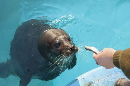 Harbor seal  Phoca vitulina  in the water Stock Photo