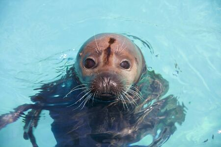 pinniped: Harbor seal  Phoca vitulina  in the water Stock Photo