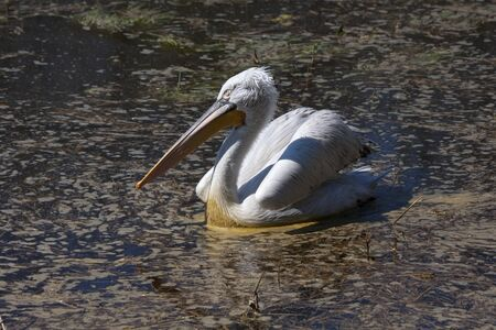 Dalmatian pelican swimming photo