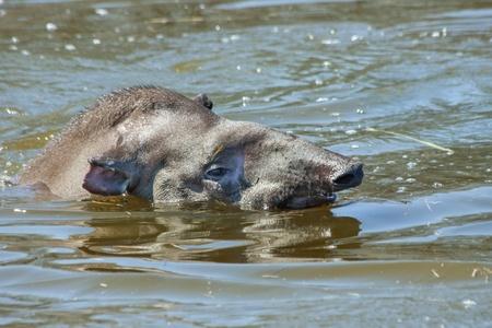 lowland: Lowland tapir  Tapirus terrestris  in water