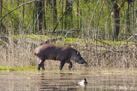 ungulates: Lowland tapir in marshy area