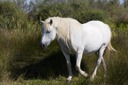 Wild horse in Camargue photo