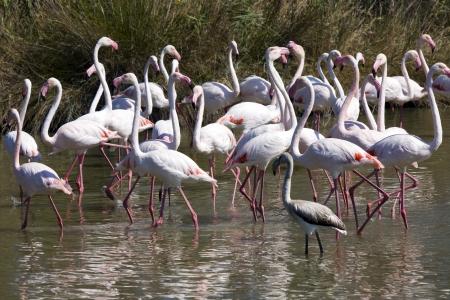 phoenicopterus: Greater Flamingo Phoenicopterus roseus in Camargue