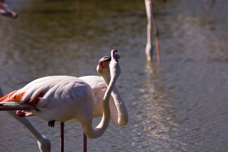 greater: Greater Flamingo in Camargue