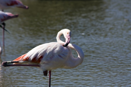 Greater Flamingo  Phoenicopterus roseus  in Camargue photo