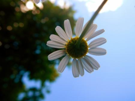 Flowers of Hungarian chamomile  Matricaria chamomilla  photo