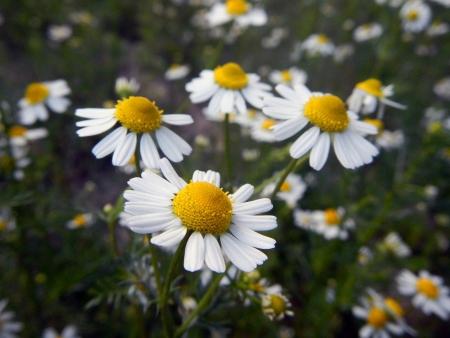 Flowers of Hungarian chamomile  Matricaria chamomilla