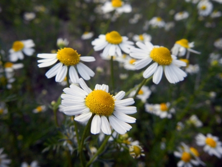 matricaria: Flowers of Hungarian chamomile  Matricaria chamomilla