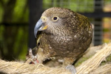 Kea  Nestor notabilis  - the most intelligent bird