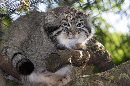 pallas: Portrait of a Pallas s cat or manul  Felis manul