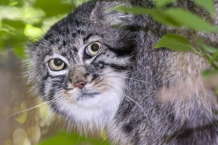 pallas: Portrait of a Pallas s cat or manul  Felis manul