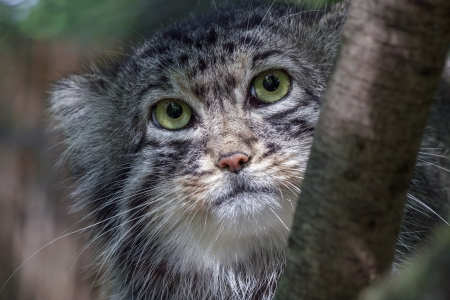 felid: Portrait of a Pallas s cat or manul  Felis manul
