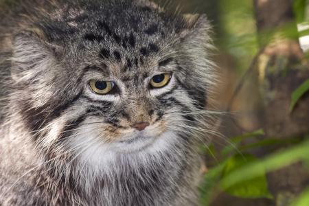 felid: Portrait of a Pallas s cat or manul  Felis manul